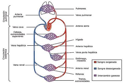 El aparato circulatorio: partes y funciones | Pequeocio.com