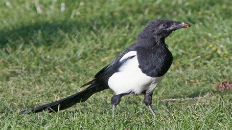 El ave más INTELIGENTE del Mundo   La Urraca, pica pica ...