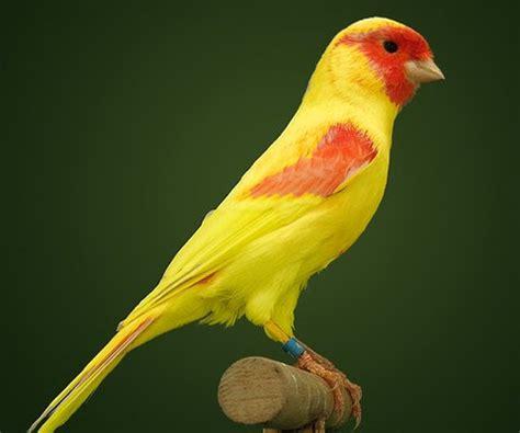 El Aviario de Salvi: Tipos de canarios