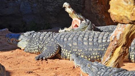 El Bioparc de València rep tres cocodrils del Nil