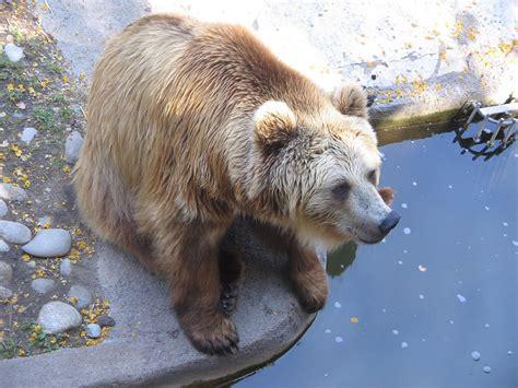 EL BOSQUE INTERACTIVO: El oso pardo