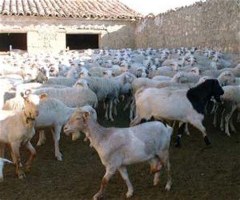 El caprino encabeza el negocio ganadero en las Islas Canarias