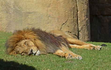 El carácter del rey   El león Keops cumple 17 años