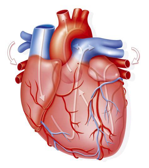 El corazón y su anatomía