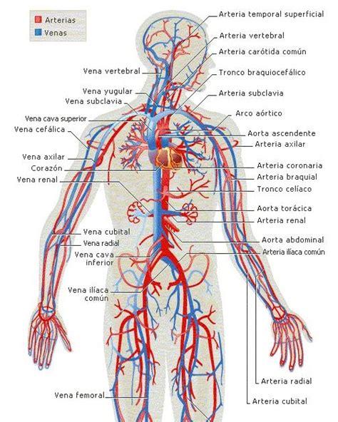 el cuerpo humano y sus partes: Aparato circulatorio