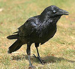 El cuervo de Mellor  Corvus mellori  es una especie de ave ...