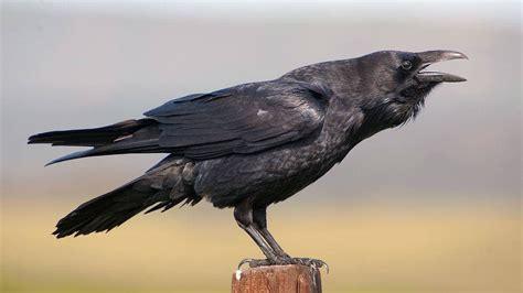El cuervo es el animal más listo del planeta   Periodista ...