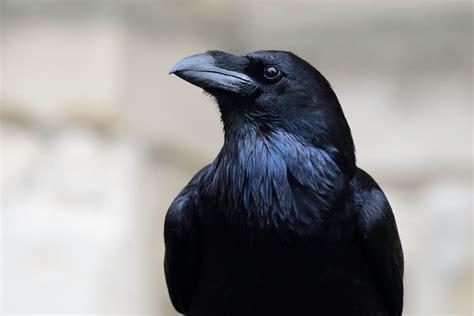 El cuervo y su simbolismo: 5 cosas curiosas que no sabías