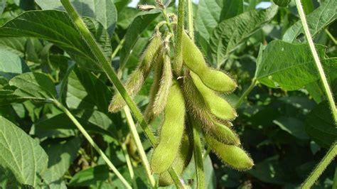 El cultivo de soja en España   Salsadesoja.com