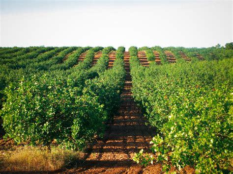 El cultivo del pistacho: todo lo que debes saber   Blog de ...