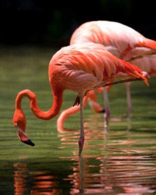El flamenco es una popular ave del orden de los ...