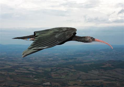 El ibis revela los secretos del vuelo en formación de V de ...