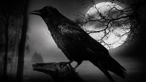 El mal comportamiento de los cuervos es más mito que realidad