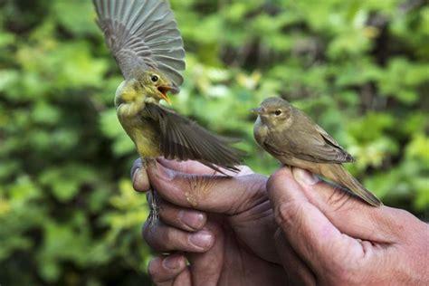 El marcaje de aves con geolocalizadores destapa los ...