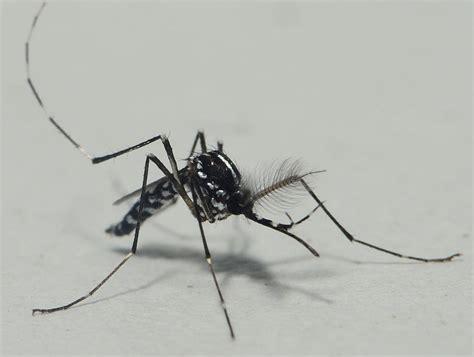 El mosquito tigre   Ayuntamiento de Alicante
