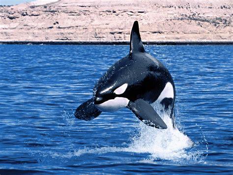 El ojo del buitre: Orca  Orcinus orca