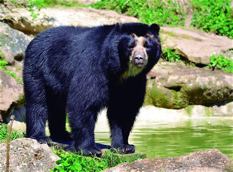 El oso Andino   Animales del Peru