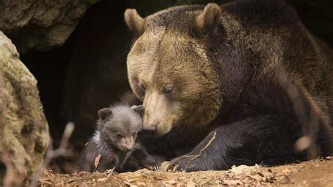 El oso de las cavernas sigue 'vivo' en el ADN de los ...