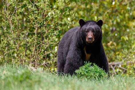 ¿El oso es como lo pintan? • Teorema Ambiental