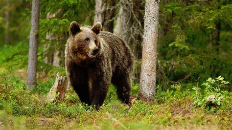 El oso Goiat destroza las colmenas de los Pirineos ...