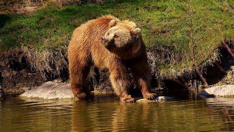 El oso Goiat mata a otra yegua en la Val d Aran  Lleida
