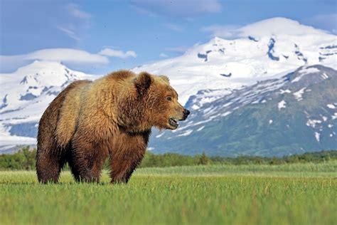 El oso grizzly, el rey de los bosques de Alaska