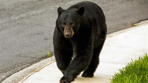 El oso negro, un centinela de enfermedades en el humano ...