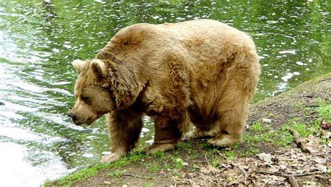 El oso pardo, acechado por nuevos peligros y amenazas