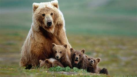 El oso pardo, la especie de oso más extendida del planeta ...