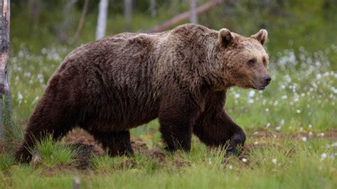 El oso pardo modifica sus costumbres para huir de su mayor ...