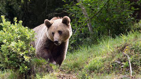 El oso pardo podría reducir su población a la mitad en 50 años