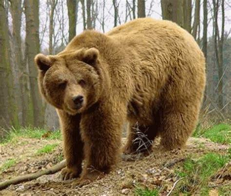 El oso pardo protagoniza dos nuevos partos en los Pirineos ...
