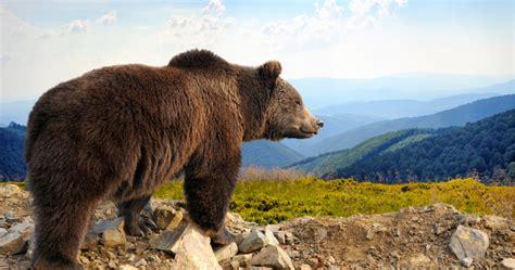 El oso pardo reconquista la Cordillera Cantábrica y ...