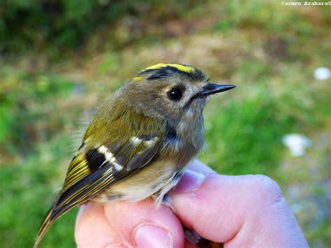 El pájaro más pequeño de Europa | ambientologosfera