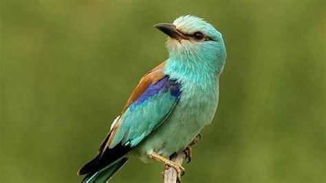 El pájaro que vomita contra sus depredadores   ABC.es
