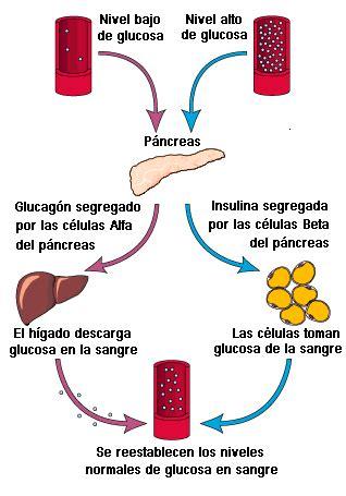El pancreas: Función endocrina