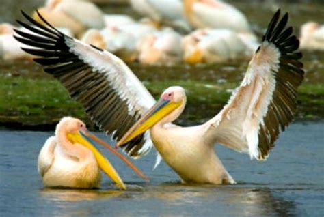 El pelícano  Pelecanus onocrotalus  es una de las aves ...