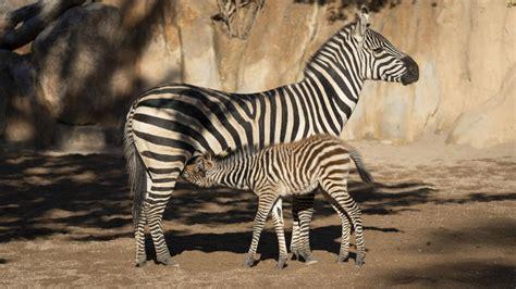 El primer naixement de l any en Bioparc València ha sigut ...