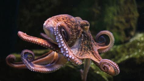 El pulpo, un curioso animal marino