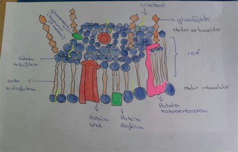 EL RINCÓN DE LA BIOLOGÍA : La gran membrana plasmática