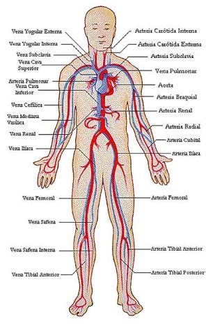 El sistema circulatorio  2ª Parte    Articulos   ABC Color