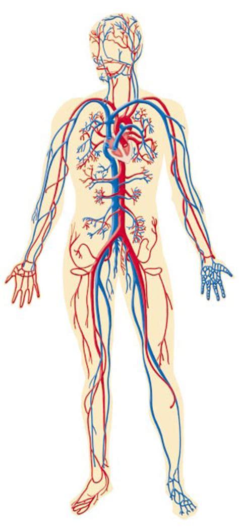 EL SISTEMA CIRCULATORIO: El sistema circulatorio