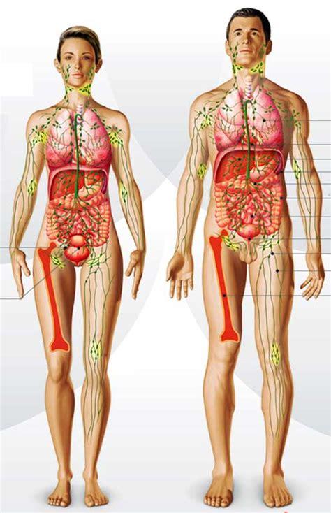 El sistema linfático | COSMETOLOGAS.COM   Belleza y ...