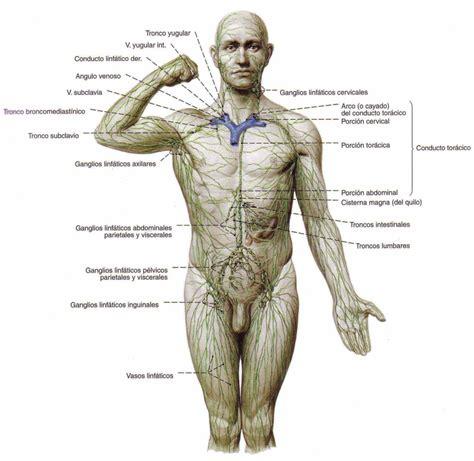 El Sistema Linfático e Inmune   Células, Órganos, Función ...