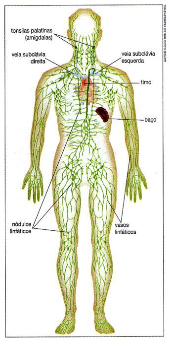 El sistema linfático. Ese gran desconocido. | Residencias ...