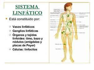 El sistema linfático se considera parte del aparato ...