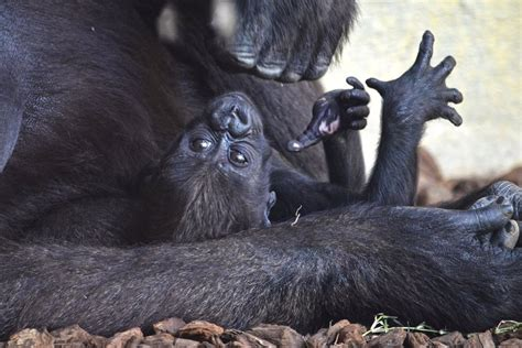 El tercer bebé gorila valenciano nacido en Bioparc se ...