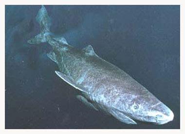 El tiburón boreal ~ Mirada Completa