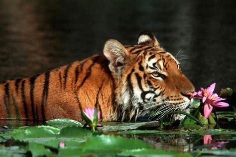 El tigre real de Bengala   Bangladesh