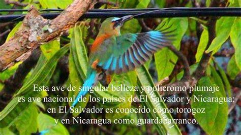 El Torogoz Ave Nacional de El Salvador.   YouTube